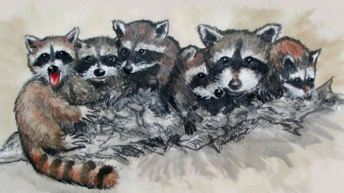 Raccoon group